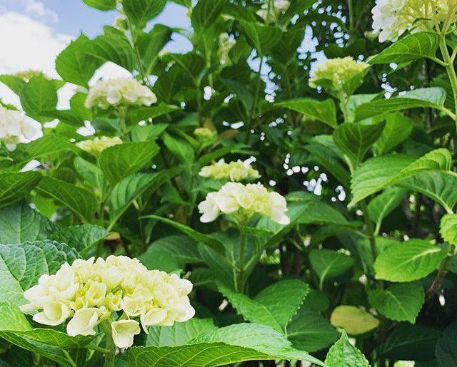 事務所裏庭は紫陽花が垣根になる梅雨シーズン。