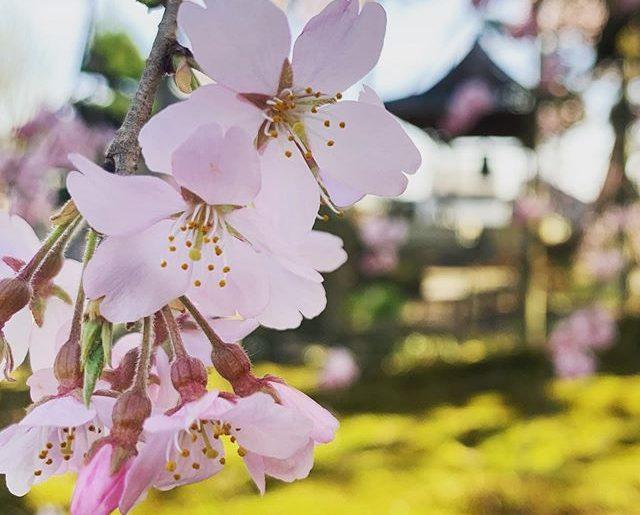 近所のお寺、ちょっとだけ春時間。